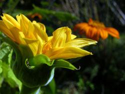 Tithonia rotundiflora 'Torch' and 'Yellow Torch' 16 November 2008