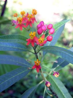 Butterfly Weed 16 November 2008