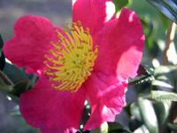 Camellia sinensis 'Yuletide' 16 November 2008