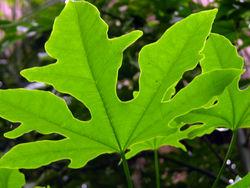 Leaf I 14 November 2008