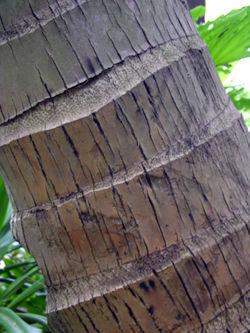 Palm Trunk 14 November 2008