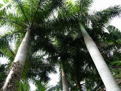 Palms 14 November 2008