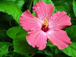 Hibiscus flower 14 November 2008