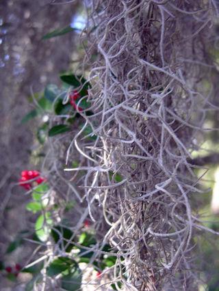 Yaupon Holly with Spanish Moss 23 November 2008