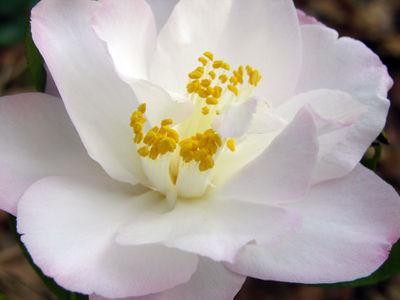 Camellia japonica 'Margaret Radcliffe' 18 December 2008