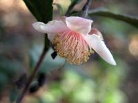 Camellia sinensis 'Red Leaf Tea'