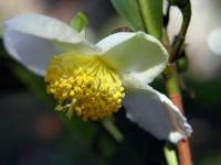 Camellia sinensis 'White Leaf Tea'