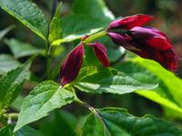 Salvia splendens 'Van Houttei'
