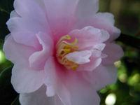 Camellia sasanqua 'Cotton Candy' 18 December 2008
