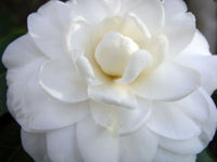 Camellia japonica 'Alba Plena' 19 December 2008