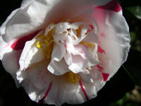 Camellia japonica 18 December 2008