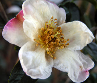Camellia sasanqua 'Winter's Star White'