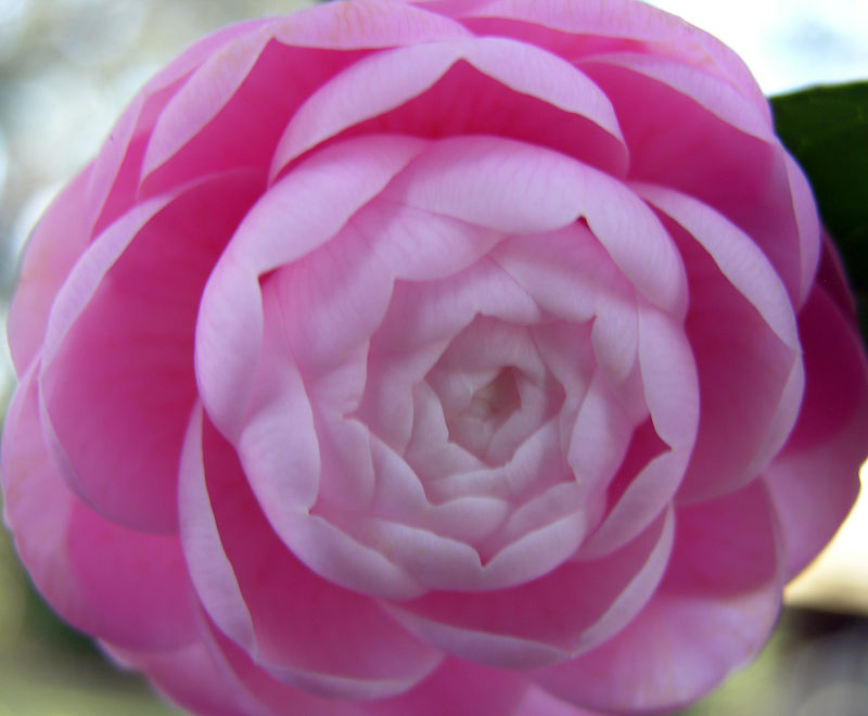 Camellia japonica 'Pink Perfection' 21 January 2009