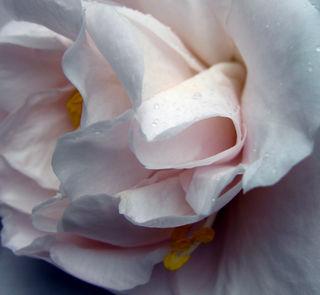 Camellia japonica 28 January 2009