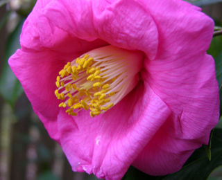 Camellia japonica from Petes 26 January 2009