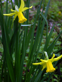 Daffodils 29 January 2009