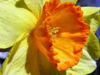 Daffodils I 19 February 2009