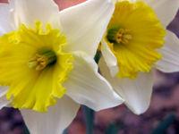 Daffodils 19 February 2009