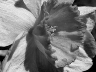 Daffodils in Grayscale 19 February 2009