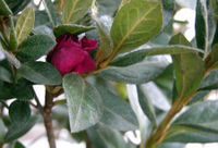 Azalea Red Formosa 28 February 2009