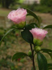 Camellia japonica Nuccio's Pearl 26 March 2009