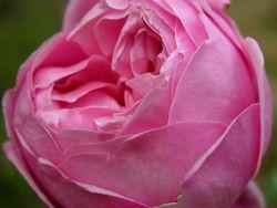 Rose I 14 April 2009