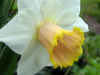 Daffodil 26 March 2009
