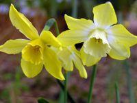 Daffodil I 26 March 2009