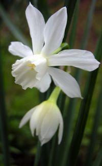 Narcissus 'Thalia' 27 March 2009