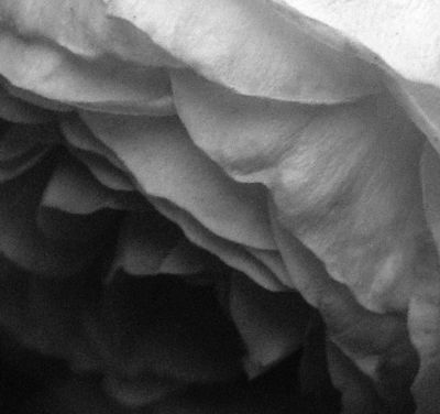 Rose grayscale I 6 May 2009