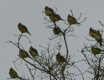 Cedar waxwings 29 March 2009