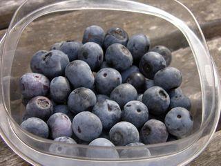 Blueberry Harvest 7 June 2009