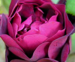 Rose II 14 April 2009