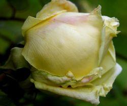 Rose III 14 April 2009