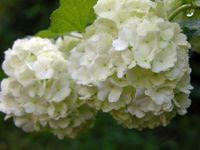 Snowball Viburnum I 16 April 2009