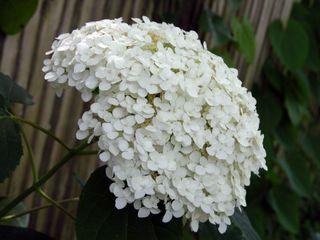 Hydrangea arborescens 'Annabelle' 20 June 2009