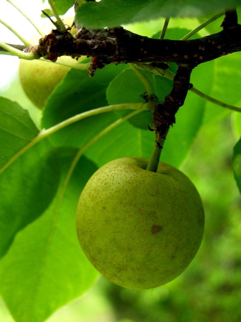 Asian Pear 20 June 2009