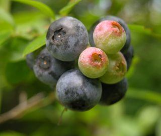 Blueberries 20 June 2009