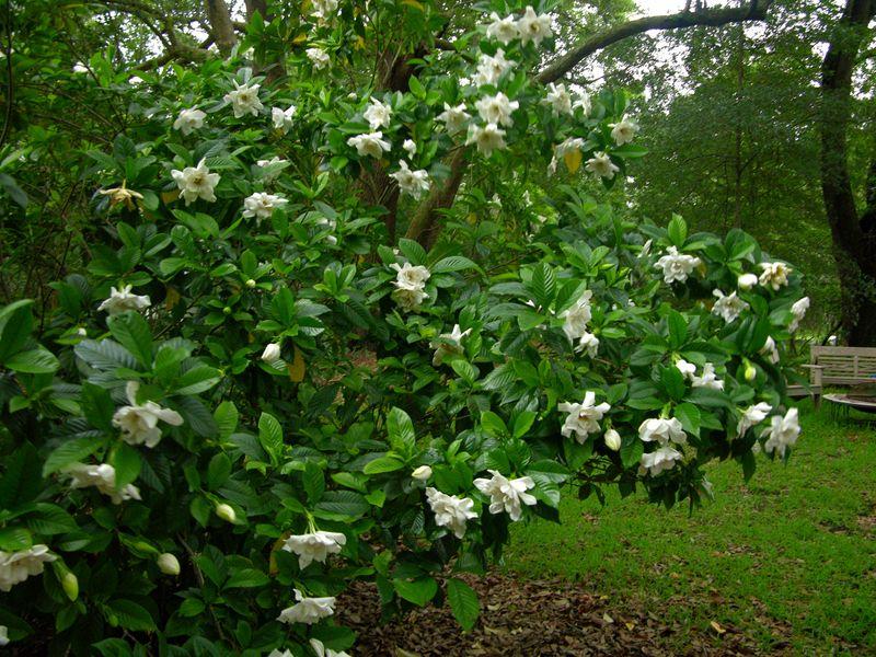 Gardenia 6 June 2009