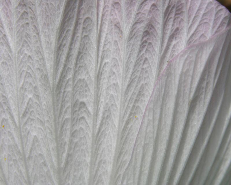 Hibiscus moscheutos 20 June 2009