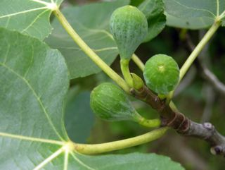 'Brown Turkey' Fig 20 June 2009
