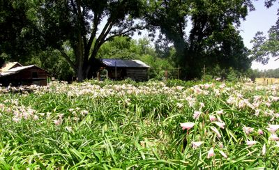 A Field of Crinums 18 July 2009