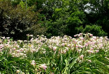 A Field of Crinums I 18 July 2009