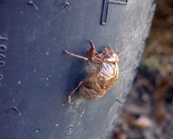 Cicada on an Airstream tire 12 August 2009