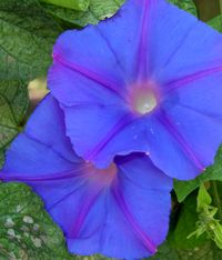 Ipomoea indica 21 September 2009