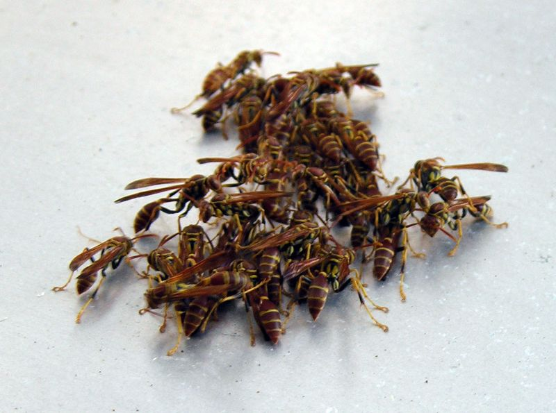 Paper Wasps on Airstream 10 October 2009