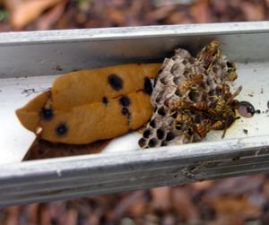 Remaining paper wasp nest in awning track 12 October 2009