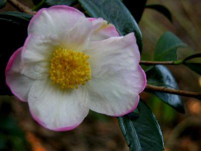 Camellia sasanqua 'Apple Blossom' 27 September 2009