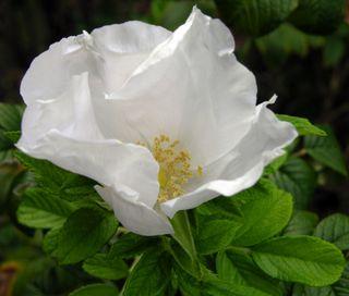 White Rose 4 october 2009