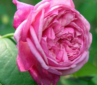 Pink Rose 4 October 2009
